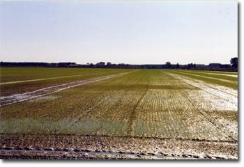 (L'asciutta del terreno circa 10 giorni dopo la semina)